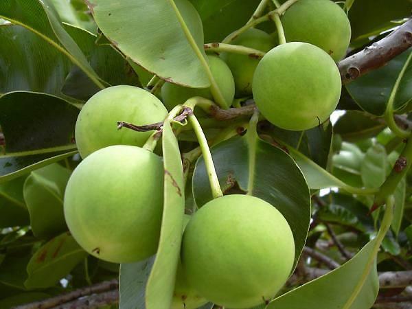 Owoce drzewa Tamanu. Źródło: wikipedia.org